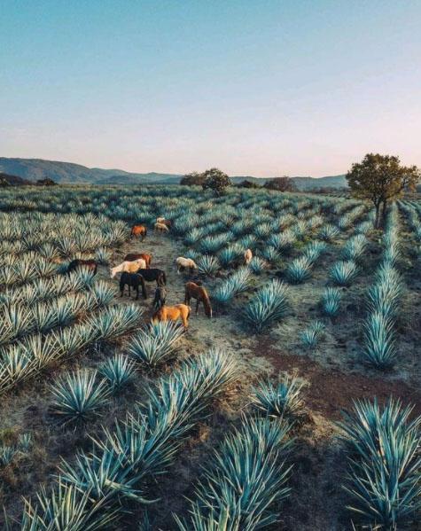 Ágabe de Tequilas MAlinche